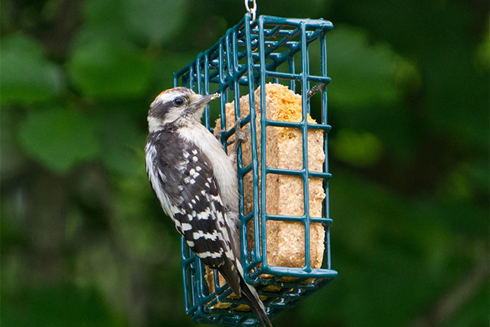 Suet treats